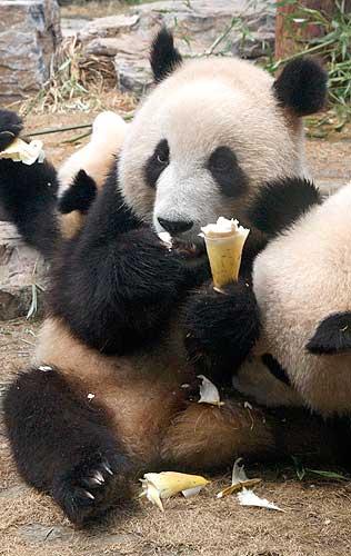 PANDA mangia un gelato