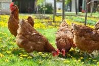 allevare-le-galline